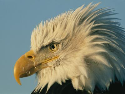 Profile View of a Bald Eagle-Norbert Rosing-Photographic Print