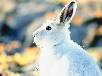 Profile View of Arctic Hare--Photographic Print