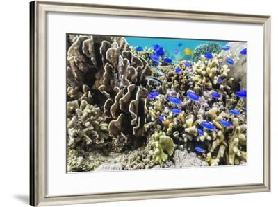 Profusion of hard and soft corals and reef fish on Mengiatan Island, Komodo Nat'l Park, Indonesia-Michael Nolan-Framed Photographic Print