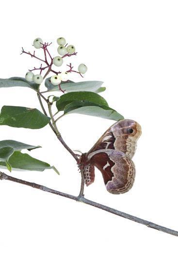 Promethea Moth Female on Gray Dogwood on White Background, Marion-Richard and Susan Day-Photographic Print