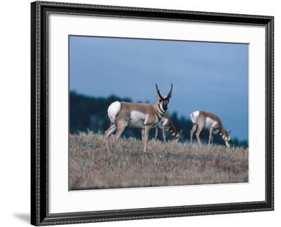 Pronghorn Antelope Acts as a Sentinel While Others Eat-Jeff Foott-Framed Photographic Print