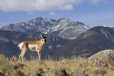 Pronghorn Antelope Buck, Electric Peak-Ken Archer-Photographic Print