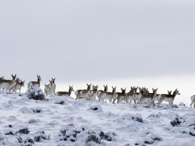 Pronghorn Antelope, Herd in Snow, Southwestern Wyoming, USA-Carol Walker-Photographic Print