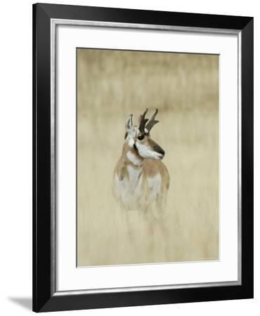 Pronghorn Antelope, Male, Yellowstone National Park, Wyoming, USA-Rolf Nussbaumer-Framed Photographic Print