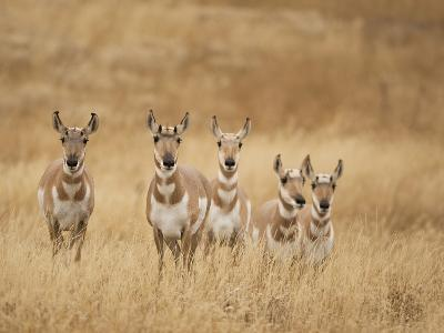Pronghorn (Antilocapra Americana) Group Standing in a Field in Yellowstone National Park, USA-Joe McDonald-Photographic Print