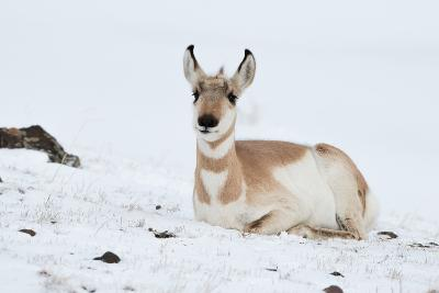 Pronghorn, Antilocapra Americana, Resting in the Snow-Tom Murphy-Photographic Print