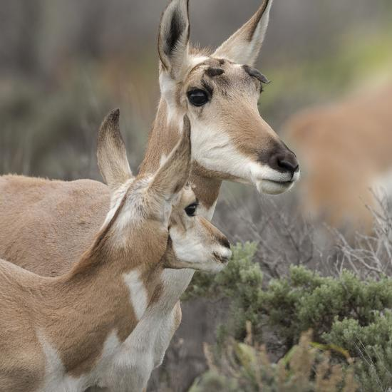Pronghorn Doe with This Years Fawn, Grand Tetons National Park, Wyoming-Maresa Pryor-Photographic Print