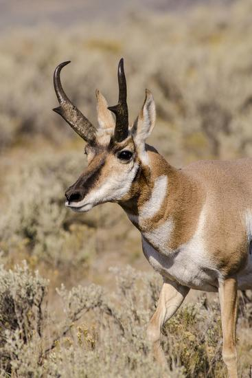 Pronghorn in Lamar Valley, Yellowstone National Park, Wyoming-Michael DeFreitas-Photographic Print