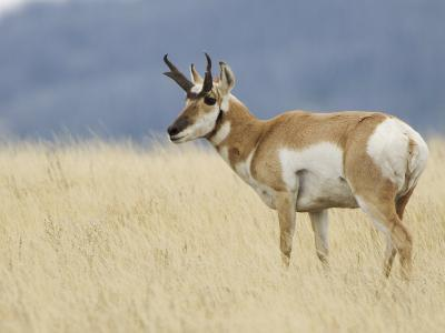 Pronghorn Standing in Grass, Yellowstone National Park, Wyoming, USA-Rolf Nussbaumer-Photographic Print