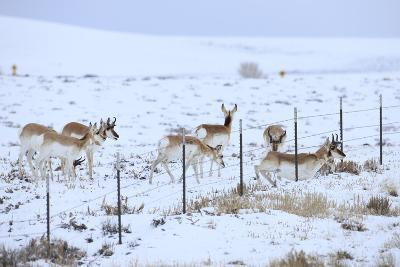 Pronghorns (Antilocapra Americana) Crawling under Fence in Snow During Migration-Gerrit Vyn-Photographic Print