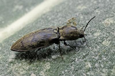 https://imgc.artprintimages.com/img/print/prosternon-tessellatum-click-beetle_u-l-pzqhli0.jpg?p=0