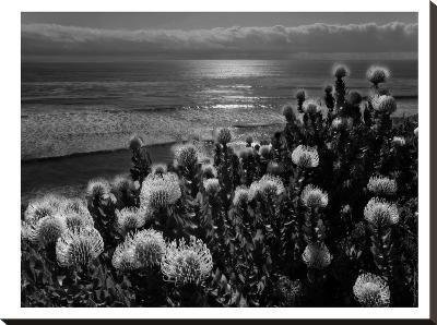 Protea And Pacific-Murray Bolesta-Stretched Canvas Print