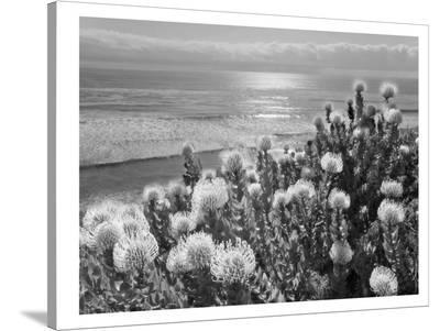Protea And Pacific-Murray Bolesta-Stretched Canvas Print