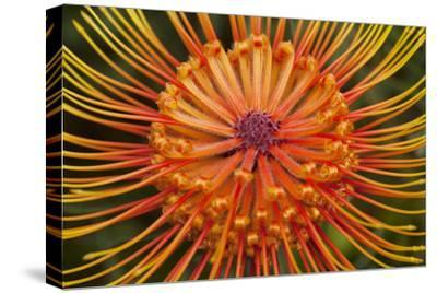 Protea Flower, Kula Botanical Garden, Upcountry, Maui, Hawaii, USA-Douglas Peebles-Stretched Canvas Print