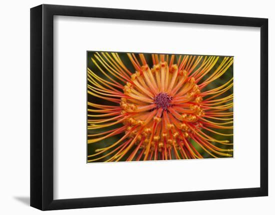Protea Flower, Kula Botanical Garden, Upcountry, Maui, Hawaii, USA-Douglas Peebles-Framed Photographic Print