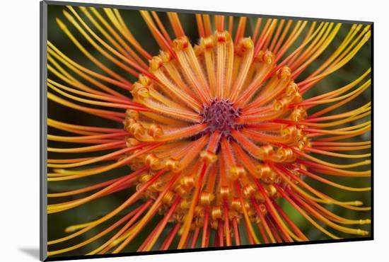 Protea Flower, Kula Botanical Garden, Upcountry, Maui, Hawaii, USA-Douglas Peebles-Mounted Photographic Print
