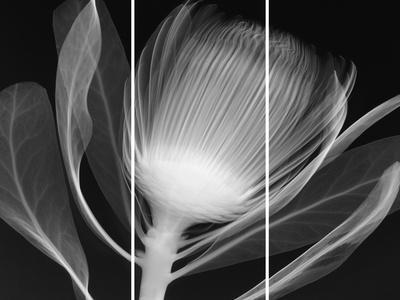 https://imgc.artprintimages.com/img/print/protea-glow_u-l-f9i1pw0.jpg?p=0