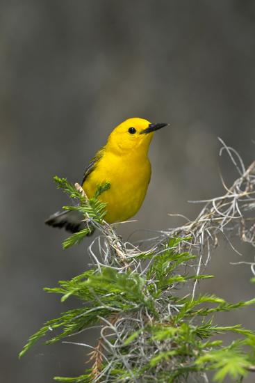 Prothonotary Warbler Male on Breeding Territory, Texas, USA-Larry Ditto-Photographic Print
