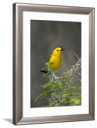 Prothonotary Warbler Male on Breeding Territory, Texas, USA-Larry Ditto-Framed Photographic Print