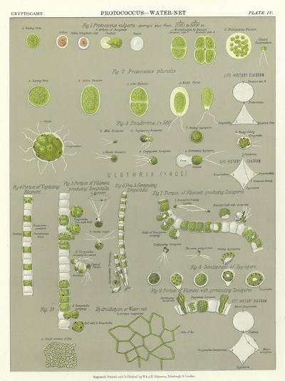 Protococcus, Water-Net--Giclee Print