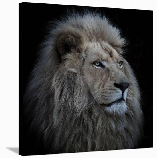 Proud Lion-Louise Wolbers-Stretched Canvas Print