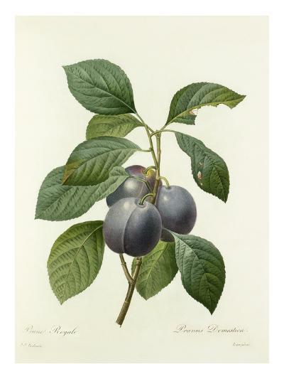 Prune Royale: Prunus Domestica-Langlois-Giclee Print