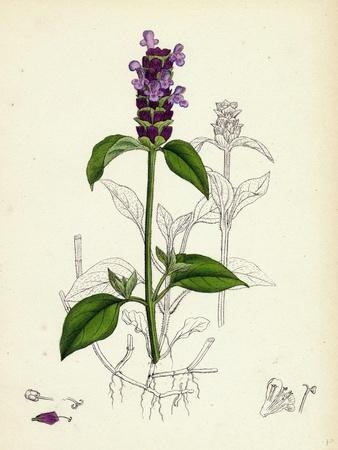 https://imgc.artprintimages.com/img/print/prunella-vulgaris-self-heal_u-l-pvuh1t0.jpg?p=0
