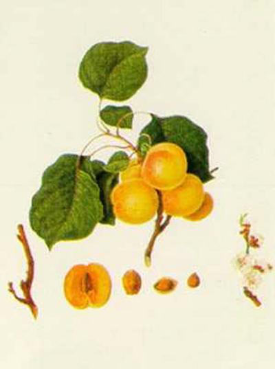 Prunus Armeniaca--Art Print