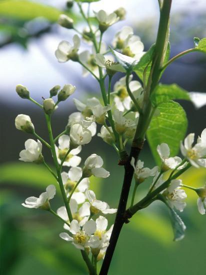 Prunus Padus Bird Cherry Almond Scented White Flowers Late