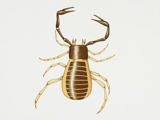 Pseudoscorpion (Chelifer Cancroides), Arachnida, Artwork by Rebecca Hardy--Giclee Print