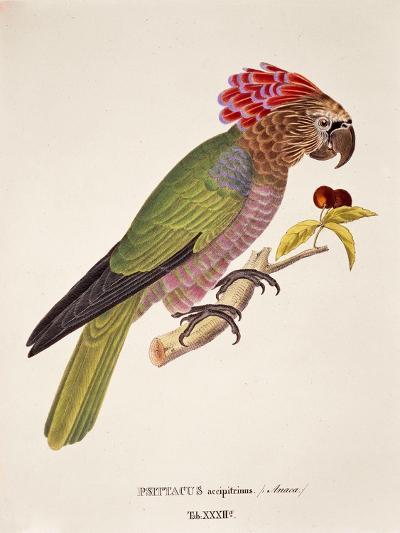 Psittacus Accipitrinus--Giclee Print