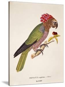 Psittacus Accipitrinus