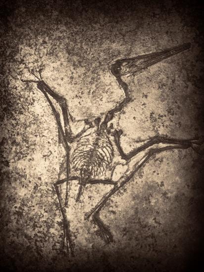 Pterodactylus Kochi-Clive Nolan-Photographic Print