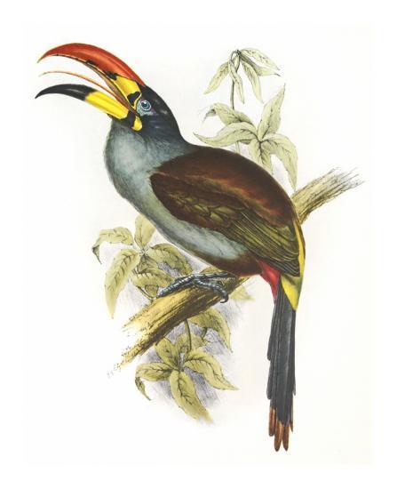 Pteroglossus Hypoglaucus-Aaron Ashley-Art Print