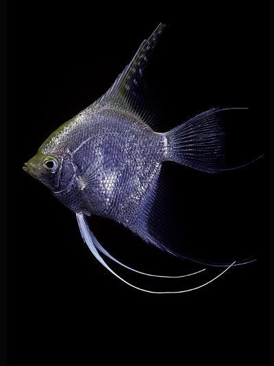 Pterophyllum Scalare (Angelfish, Freshwater Angelfish)-Paul Starosta-Photographic Print