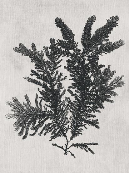 Ptilota plumosa - Noir-Henry Bradbury-Giclee Print