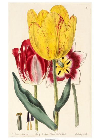 Pubescent-Stalked Tulip (1823 - 1829)-E^ Dalton Smith & Robert Sweet-Art Print