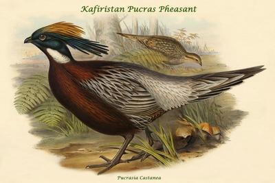 https://imgc.artprintimages.com/img/print/pucrasia-castanea-kafiristan-pucras-pheasant_u-l-pqpgdw0.jpg?p=0