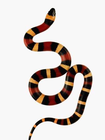 Pueblan Milk Snake-Martin Harvey-Photographic Print