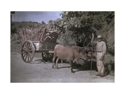 Puerto Rican Man Poses with His Bull-Cart Filled with Sugar Cane-Charles Martin-Photographic Print