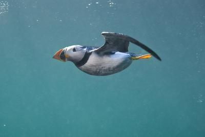 https://imgc.artprintimages.com/img/print/puffin-fratercula-arctica-swimming-underwater-farne-islands-northumberland-uk-july_u-l-q10o6go0.jpg?p=0