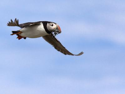 Puffin (Fratercula Arctica), With Fish, Farne Islands, Northumberland, England, United Kingdom--Photographic Print