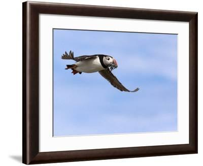 Puffin (Fratercula Arctica), With Fish, Farne Islands, Northumberland, England, United Kingdom--Framed Photographic Print