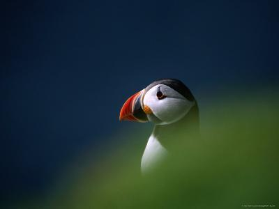Puffin (Fratercula Artica), United Kingdom-David Tipling-Photographic Print