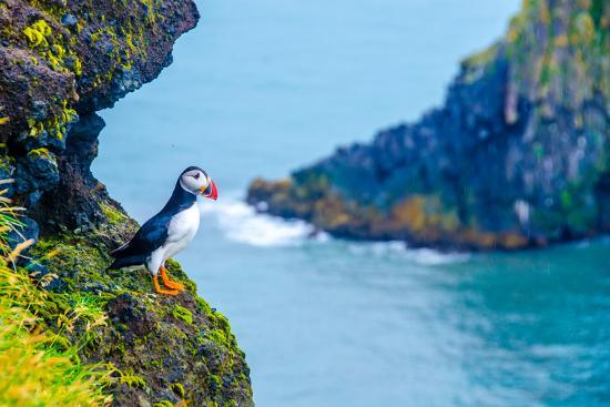 Puffin - Iceland-Simon Dannhauer-Photographic Print