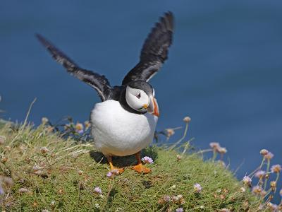 Puffin Lands on Grass Ledge by Sea--Photographic Print