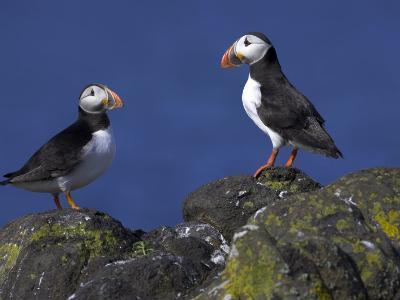 Puffin on Rock, Fratercula Arctica, Isle of May, Scotland, United Kingdom-Steve & Ann Toon-Photographic Print