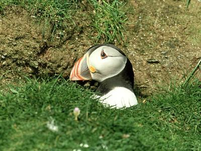 Puffin, Peering out of Hole, Shetland-David Tipling-Photographic Print