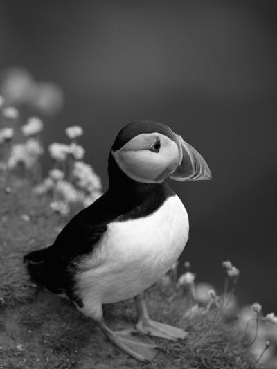 Puffin Portrait, Great Saltee Is, Ireland-Pete Oxford-Photographic Print