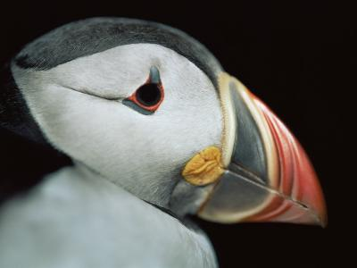 Puffin Portrait, Runde, Norway-Bence Mate-Photographic Print